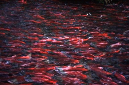 Salmon photo courtesy of Dr. Carol Ann Woody