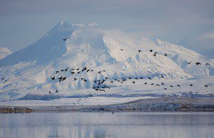 Black brandt at Izembek Lagoon.  USFWS Photo