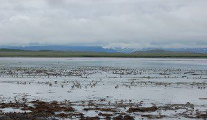 The internationally important wetlands in Izembek National Wildlife Refuge are threatened by a proposed road. Trustees just filed a brief in the Izembek appeal to keep Izembek wild.