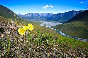 2015 conservation victories include Arctic National Wildlife Refuge protects the Porcupine Caribou Herd's critical habitat. Trustees for Alaska protect the Arctic Refuge. USFWS photo.