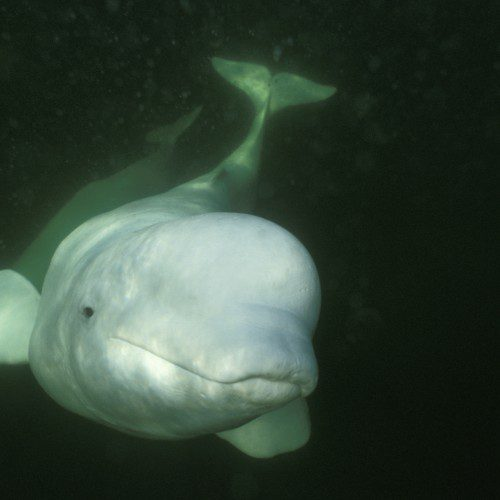 Cook Inlet Beluga Whale Remains Listed