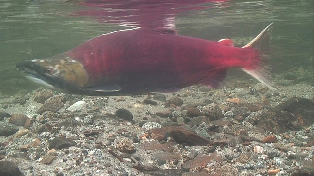 We are fighting to keep water in Middle Creek, a tributary of the Chuitna River, for salmon.