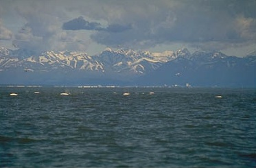 beluga whales in Cook Inlet