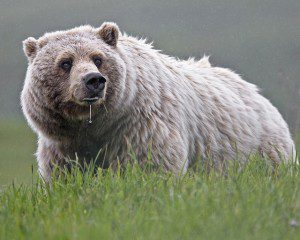 Alaska has over 98 percent of the United States population of brown bears (Ursus arctos), also known as grizzlies. NPS Photo