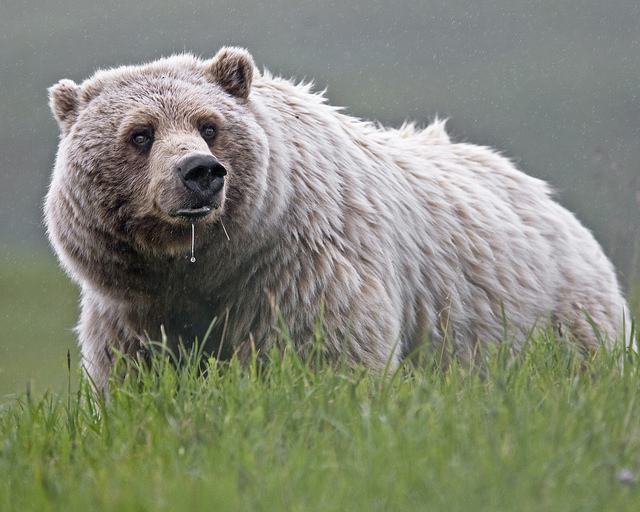 We filed a lawsuit charging NPS with clearing the way for hunting methods like killing this brown bear over bait.
