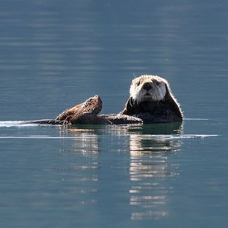 Sea otters live in Resurrection Bay and are seen daily from the town of Seward. NPS Photo