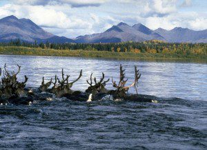 The Western Arctic Caribou Herd. NPS Photo.