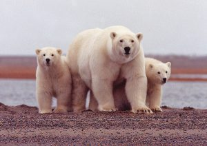 Polar bears congregate along the coast of the Beaufort Sea in September and October. USFWS photo.