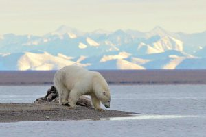 Polar Bear at the end of the spit. In the background you can see the Coastal Plain and the Brooks Range in the Arctic National Wildlife Range. Photo courtesy of Sheri Spitzer.