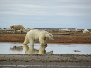 The polar bears hang out in the area waiting for new bones to be added bone pile or the ice to come back in. Photo by Vicki Clark.