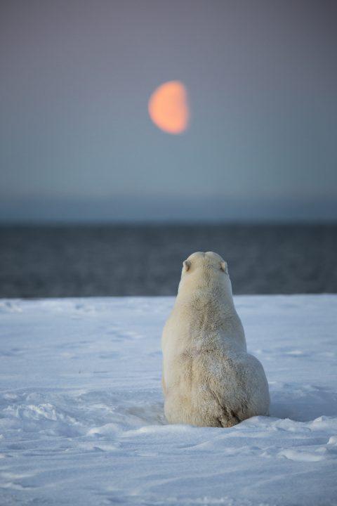 Polar bear looking at the sea and moon.