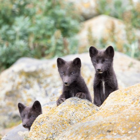 Three bears on a rock