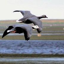 Izembek nourishes millions of migrating birds.