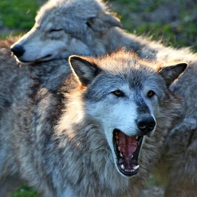 Two wolves with adult yawning, pup laying its head on adult's back.