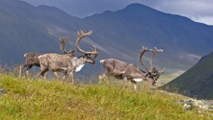 Caribou in Gates of the Arctic