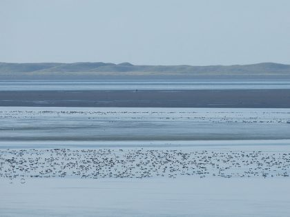 A mob of brant in the Izembek lagoon area.