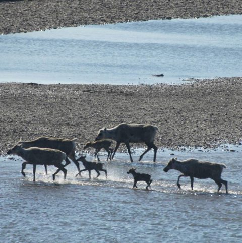 Caribou rely on the Western Arctic for their young to survive.