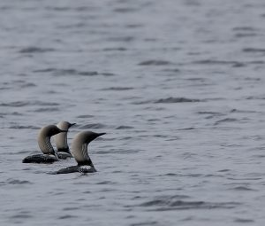 Three loons in the Western Arctic.