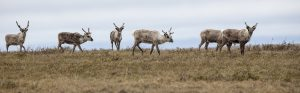 A Teshekpuk Lake caribou group.