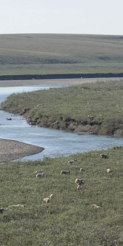 Caribou by water in the Western Arctic.