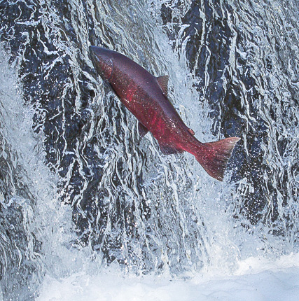 salmon jumping the falls