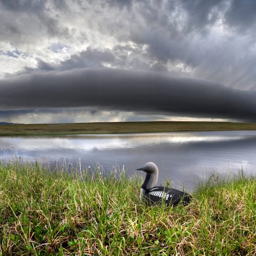 Act now to protect the Arctic Refuge