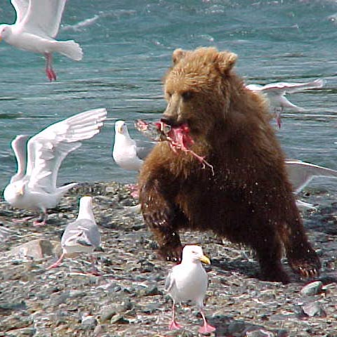 A bear with a fish runs at an unwelcome guest and all the other seagulls.