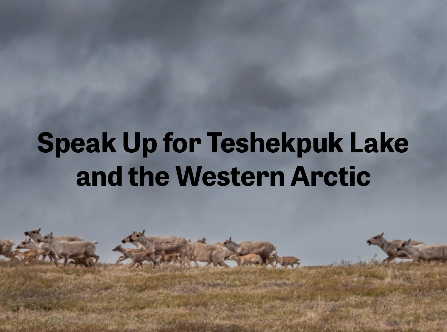 Caribou in the Teshekpuk Lake area of the NPRA or Western Arctic. Text says to speak up for the people and animals by telling BLM to expand protections in the NPRA