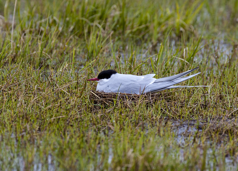 An Arctic tern nests in the grassy wetlands of the NPRA.
