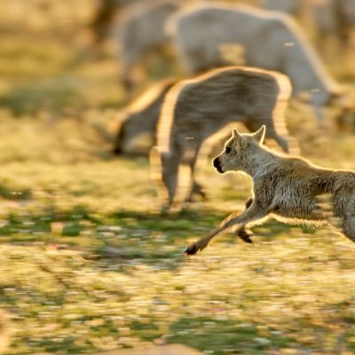 A caribou calf leaps around the herd in the Arctic Refuge.