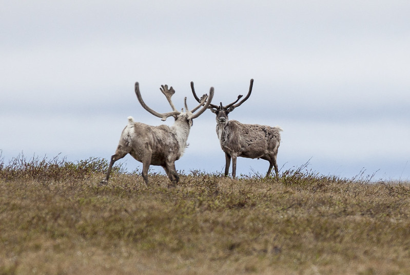 Two Teshekpuk Lake caribou in the NPRA. We filed a lawsuit to stop the sell off of public land to oil companies.